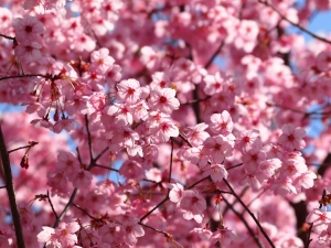 The Hanami allows you to get closer to these beautiful flowers.
