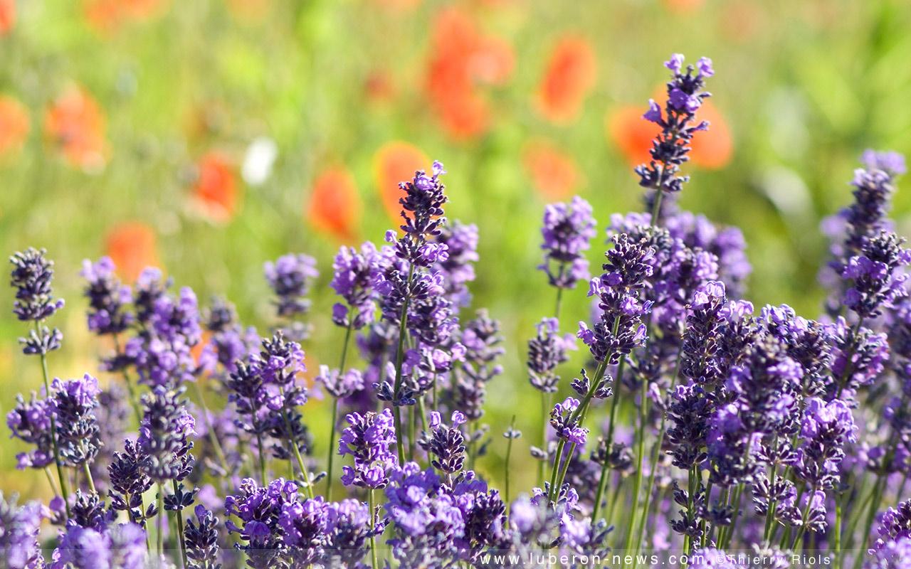 The perfect flowers for summer bouquets for Plante anti moustique exterieur