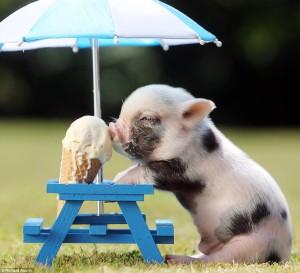 pig-eating-icecream