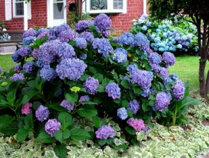 Hydrangea Flower in the front yard