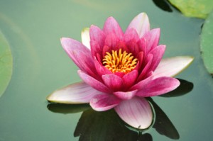 Lotus flower floating