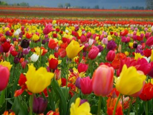 Tulips in different colours
