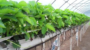 Strawberries being grown in an elevated hydroponic system