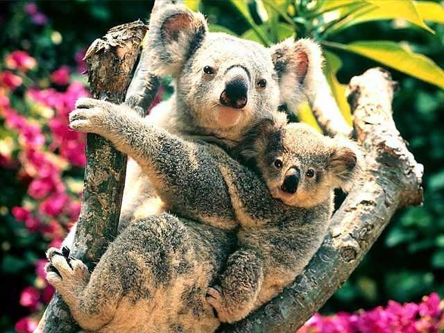 640px-Baby_koala