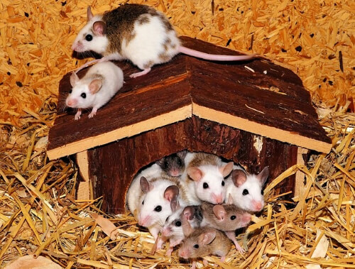 mouse-family-443297_640
