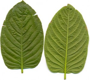 538px-Kratom_leafes