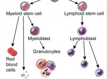 The Benefits of Cord Blood Stem Cells