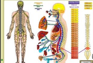Spinal Cord, Brain and Nerves: New Interconnection Found Study!
