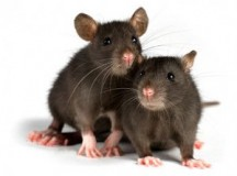 Three Natural Ways To Get Rid Of Rodents