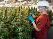 Amazing Health Benefits of Medical Marijuana