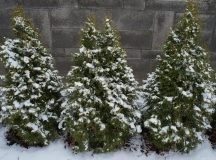 Evergreen Trees and What They Can Do for Your Garden