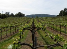 Tutorial on Pruning Grape Vines-for Beginners