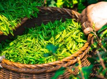 Top 10 Organic Tea Brands in World History