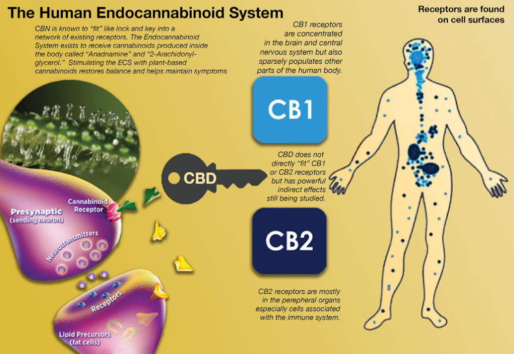 Why CBD Oil is Being Used for Anxiety and Cancer Treatments
