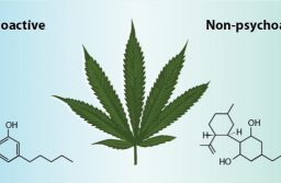 Understanding the Differences between CBD and Typical Cannabis