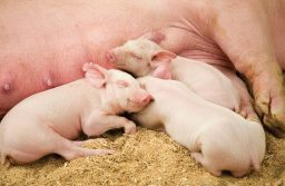 Weaning Piglets Successfully
