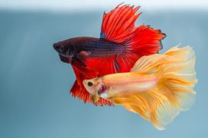 Betta Fish: A Fun and Easy Pet for Your Family