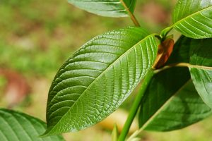 Discover The Incredible Healing Power Of Kratom